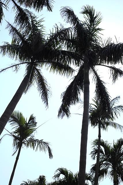 宮古島の椰子の木