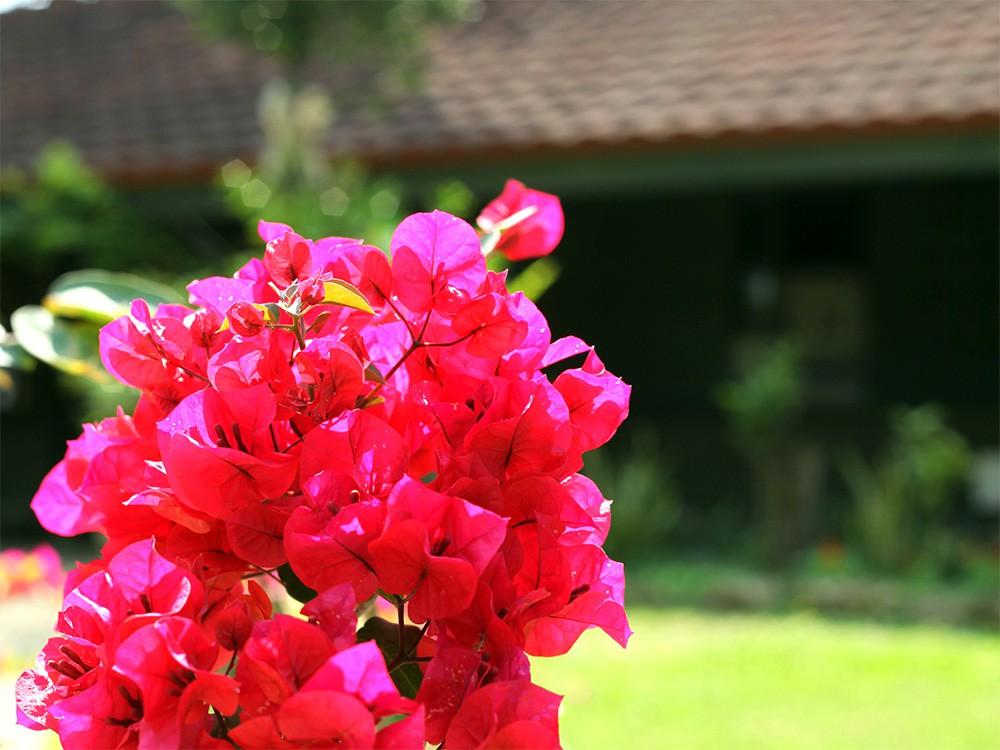 宮古島には四季折々の花が咲きます。