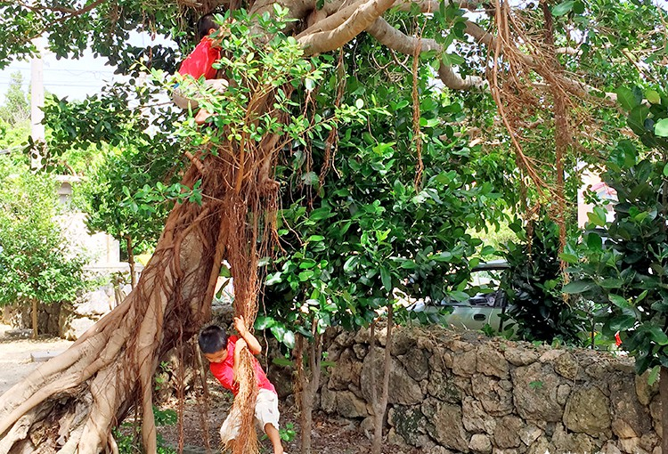 宮古島のガジュマルの樹